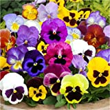 "Package of 600 Seeds, Pansy ""Swiss Giants Mixture"" (Viola wittrockiana) Non-GMO Seeds by Seed Needs"