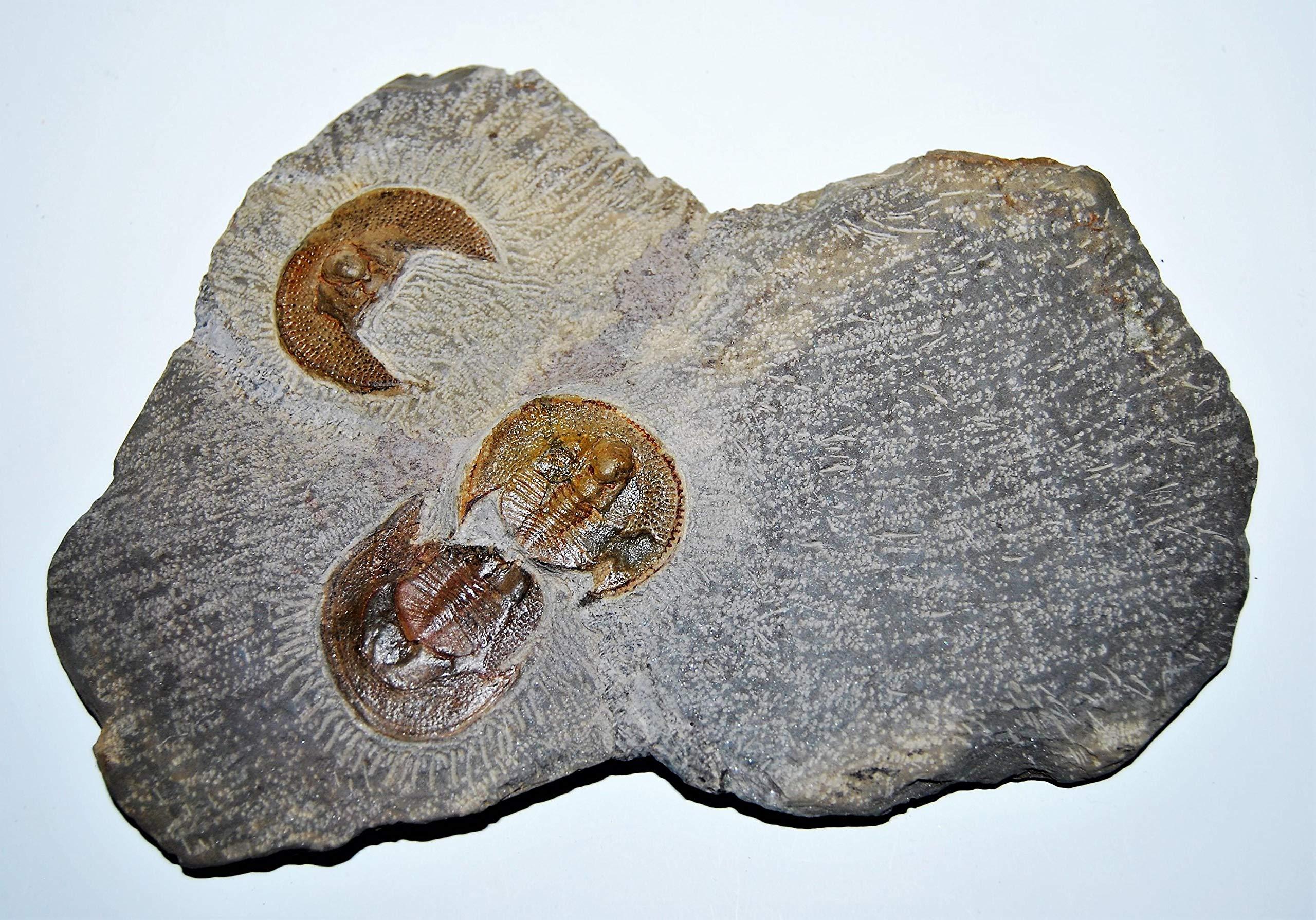 Nankinolithus Trilobite Fossil 475 Million Years Old #14388 21o