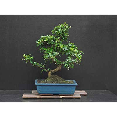 """Fukien Tea Bonsai Flowering Plant 17"""" Tall with 10"""" Pot Over 15 Years Old Tree : Grocery & Gourmet Food"""