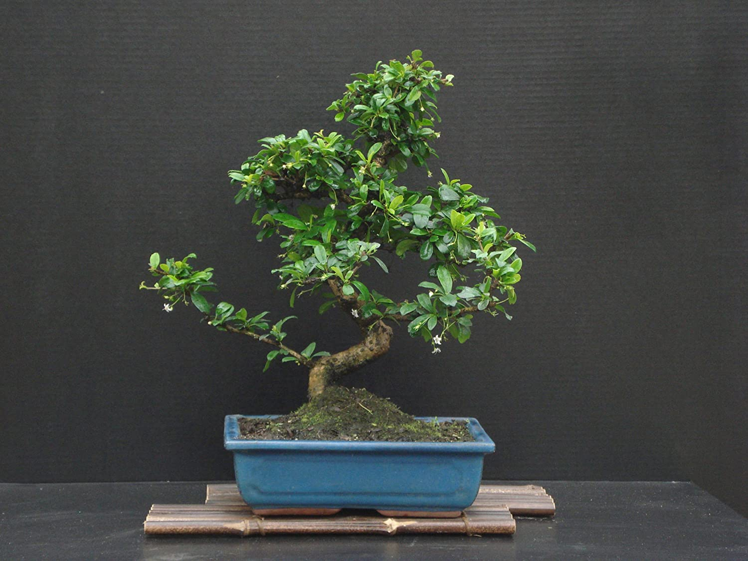 Amazon Com Fukien Tea Bonsai Flowering Plant 17 Tall With 10 Pot Over 15 Years Old Tree Garden Outdoor