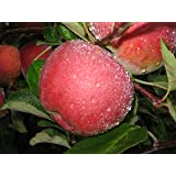 McIntosh Apple Tree Semi-Dwarf - Healthy - Established - 1 Gallon Trade Pot - 1 each by Growers Solution