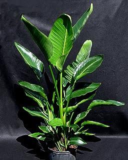Amazon white bird of paradise plant strelitzia 6 pot white bird of paradise 10 mightylinksfo