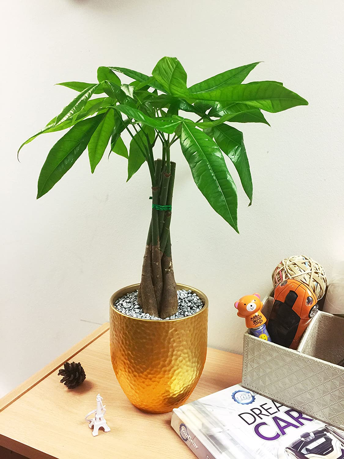 1 Luxury Elephant's Foot (Ponytail) Table Plant @ Gold Ceramic Pot Silver Top Dressing Easy Plants