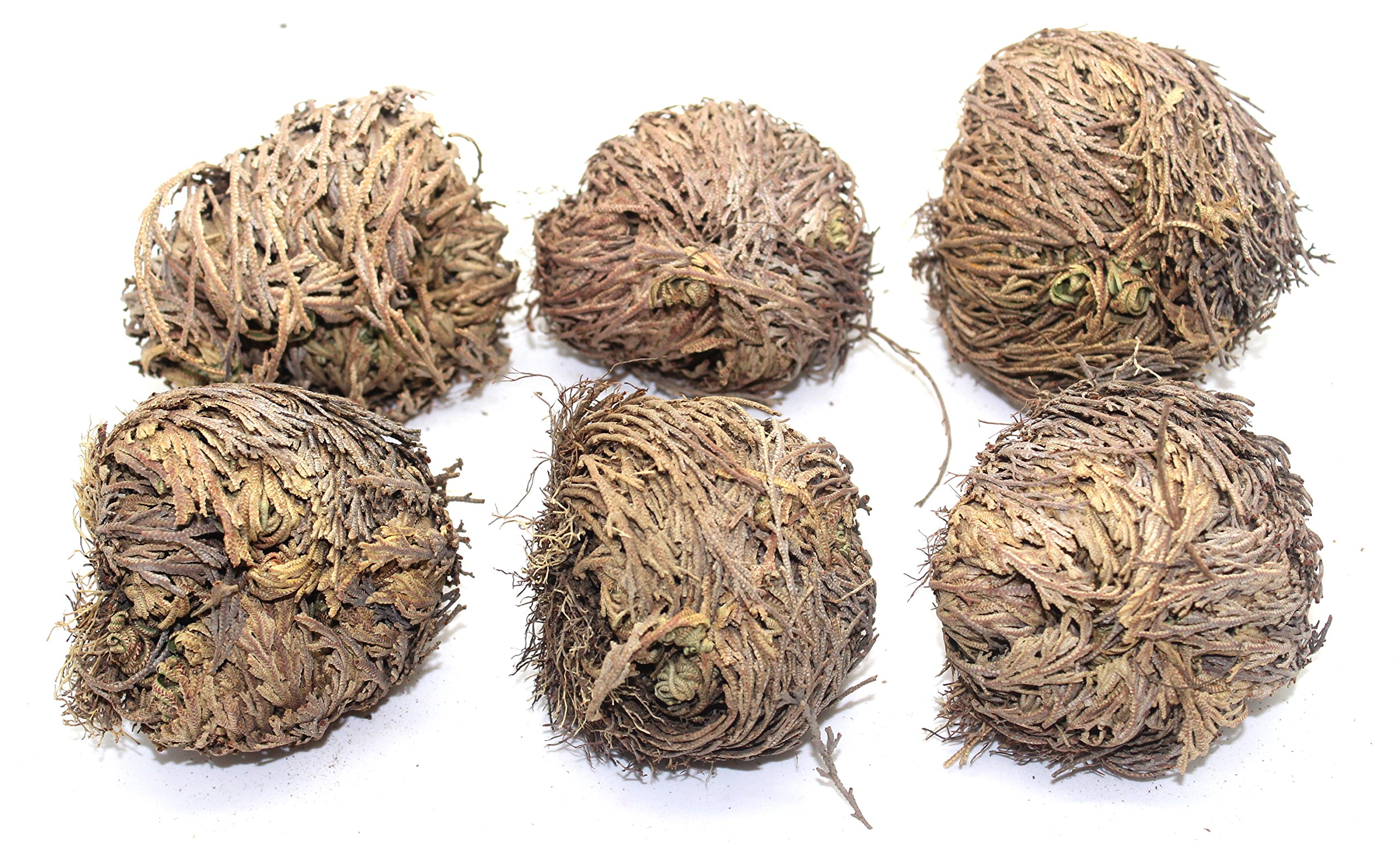 Govinda - Rose of Jericho Flower - Pack of 6