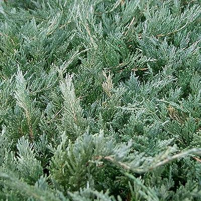 CHINESE JUNIPER Juniperus Chinensis 15 SEEDS : Garden & Outdoor