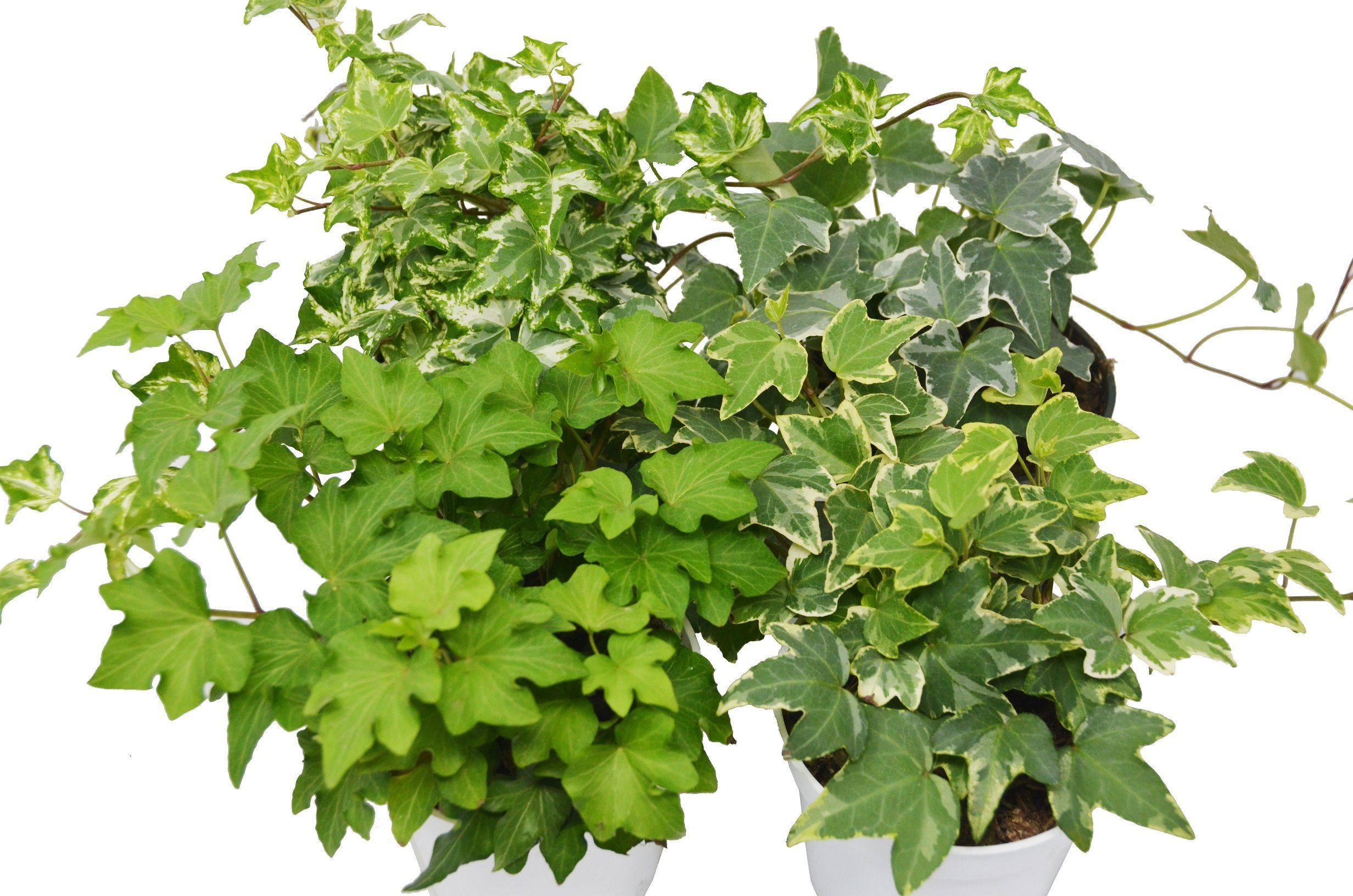 4 Different English Ivy plants- Live House Plant - FREE Care Guide - 4'' Pot - Ground Cover -