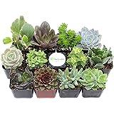 Shop Succulents Unique Succulent (Collection of 12)
