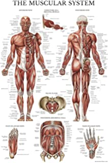 The muscular system giant chart 9781587799815 medicine health muscular system anatomical poster laminated muscle anatomy chart double sided 18 x ccuart Choice Image