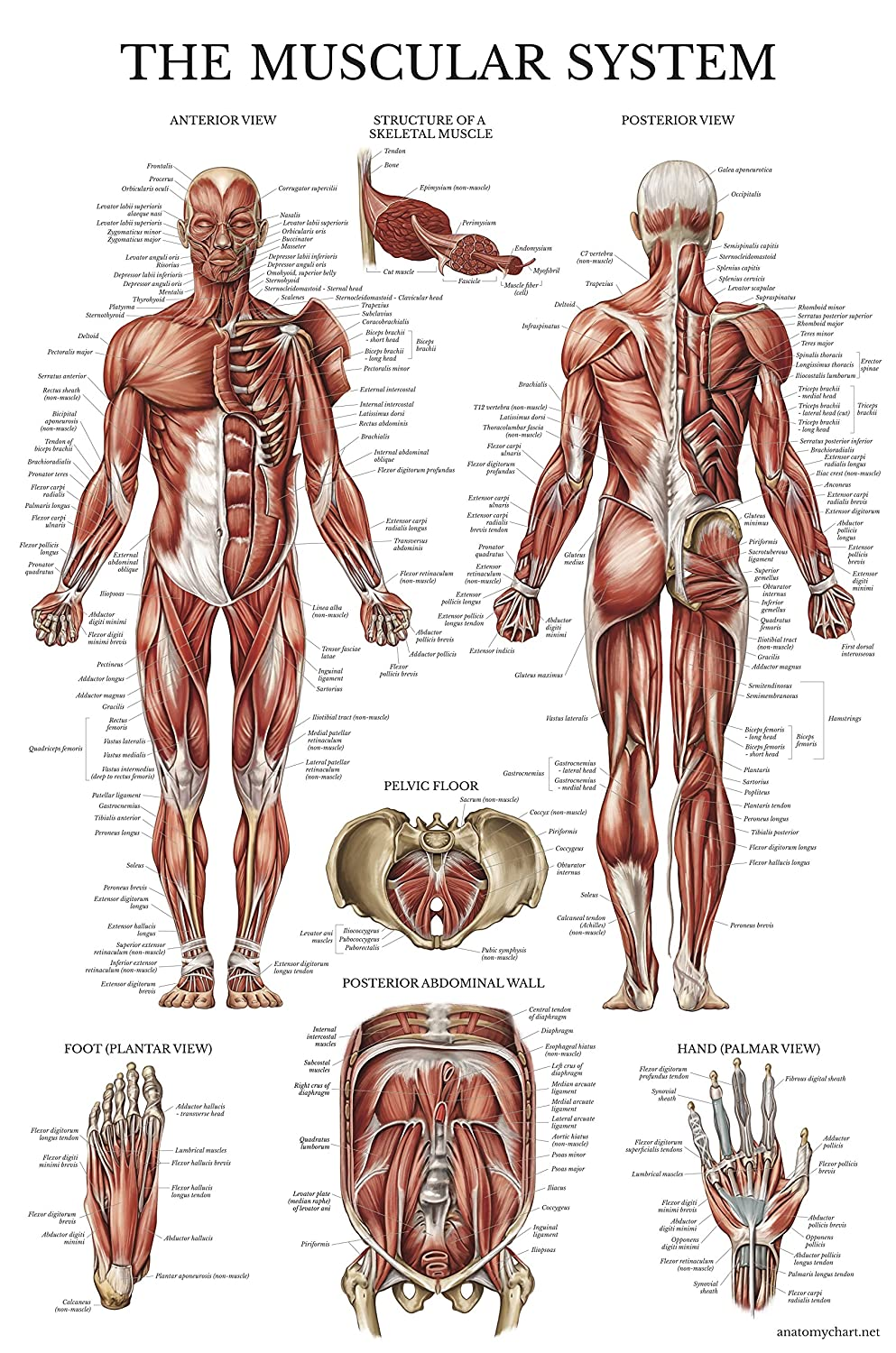 Muscular System Anatomical Poster Laminated Muscle Anatomy Chart
