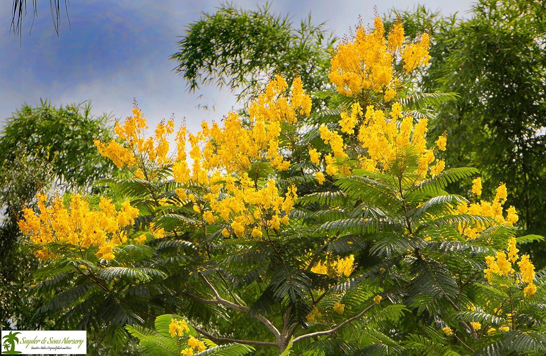 Amazon Live Yellow Jacaranda Trees 1 Gallon Flowering Trees