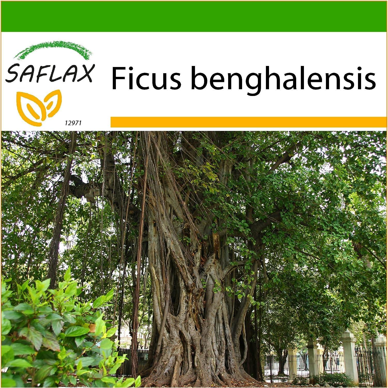 SAFLAX - Higuera de Bengala - 20 semillas - Con sustrato estéril para cultivo - Ficus benghalensis