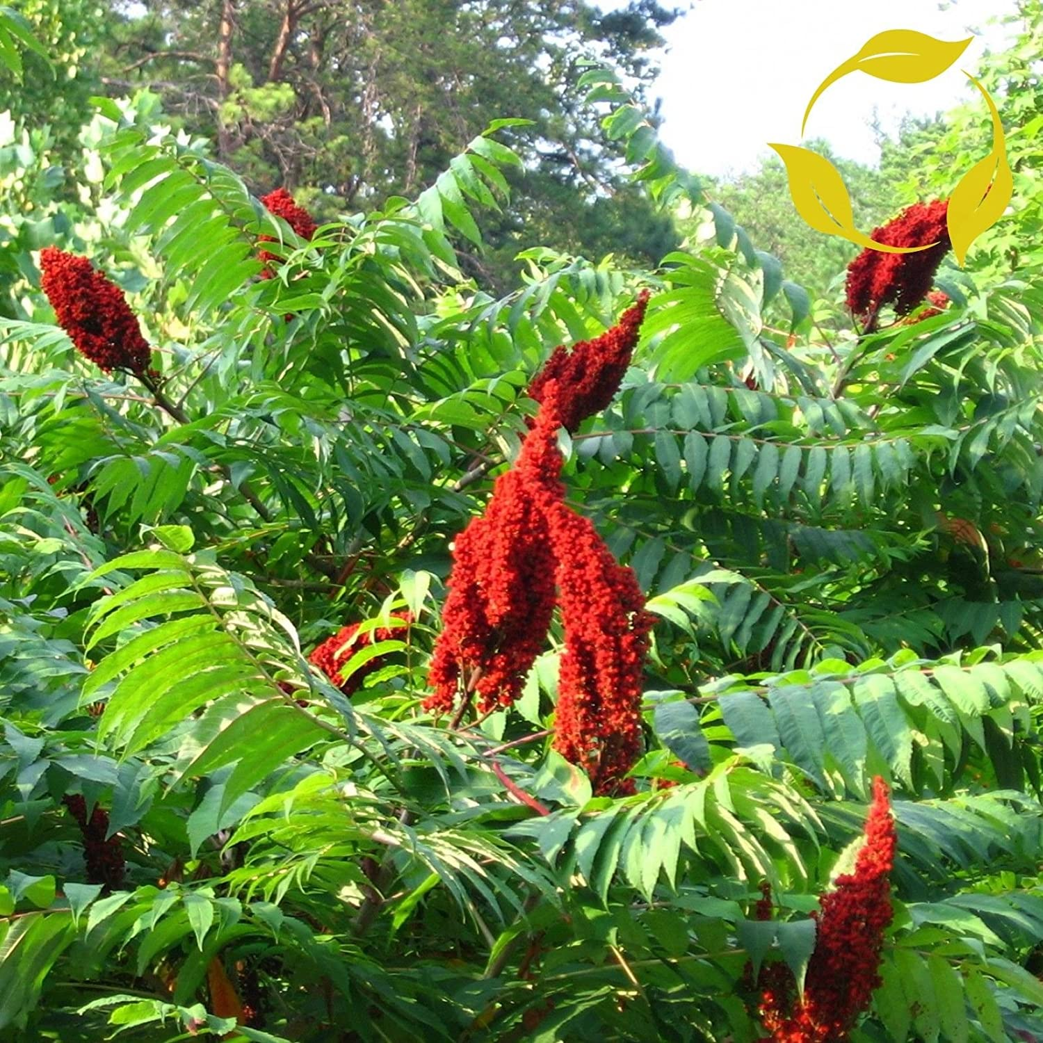 Smooth Sumac Rhus Glabra 25 Seeds
