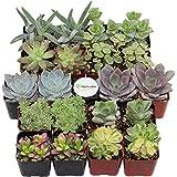 Shop Succulents Premium Pastel Succulent (Collection of 20)