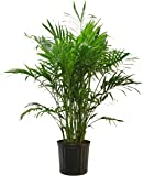 Costa Farms Cat Palm in 9.25-Inch Grower Pot