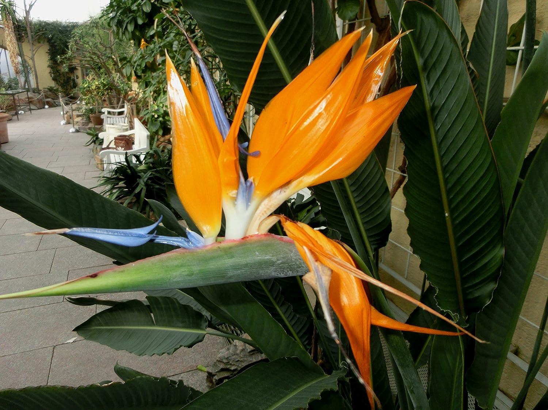 BALDUR-Garten Paradiesvogel-Blume Strelitzie,1 Pflanze Strelitzia reginae