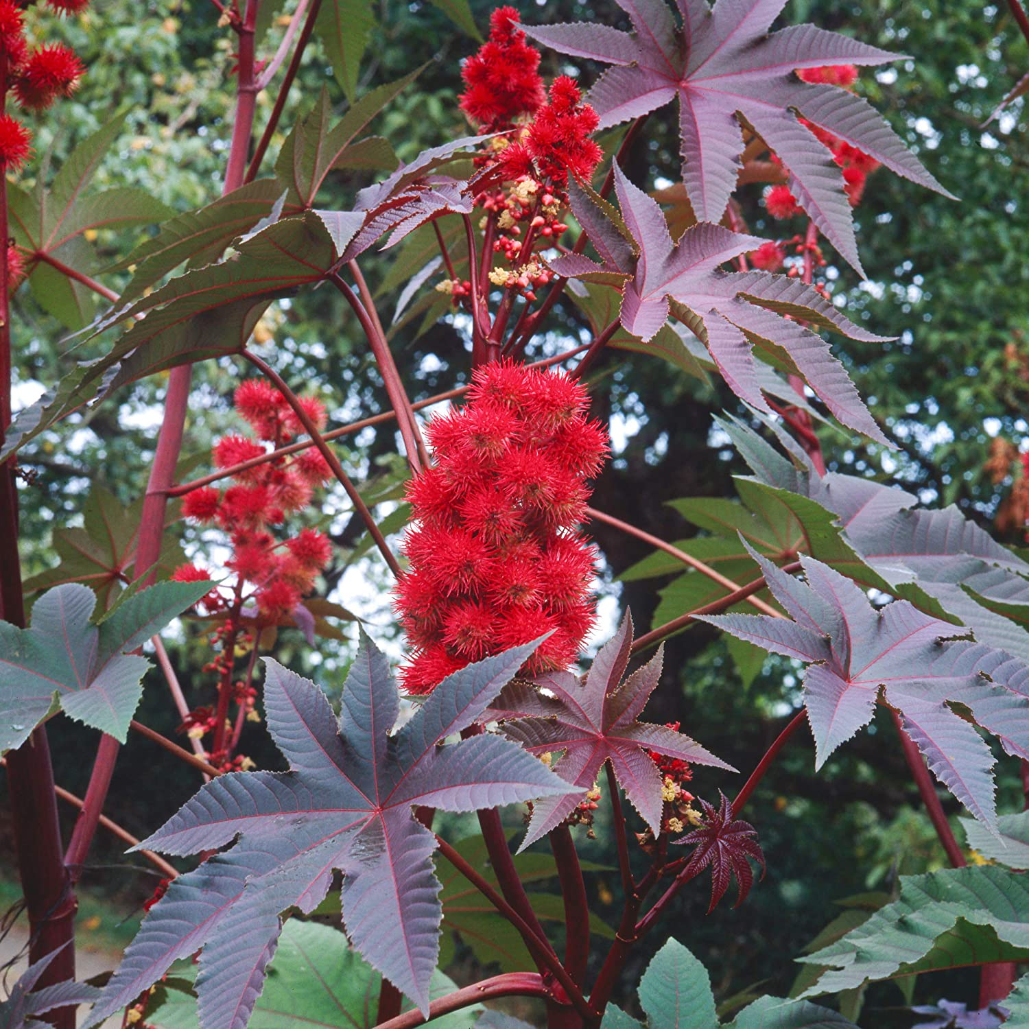 Amazon.com: Outsidepride Impala Ricinus Communis Castor Bean Plant Seed -  50 Seeds: Garden & Outdoor