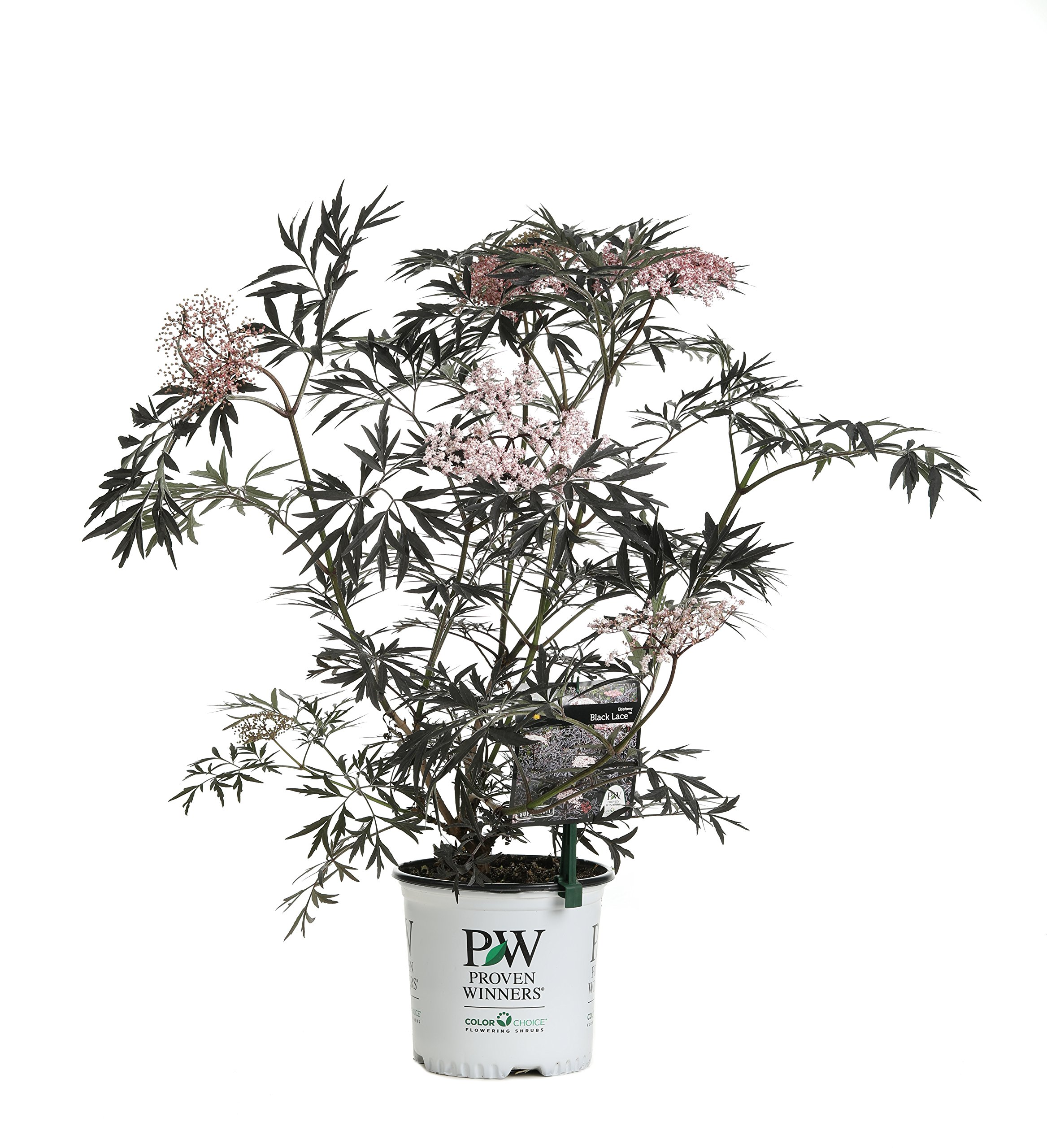 Black Lace Elderberry (Sambucus) Live Shrub, Pink Flowers, 1 Gallon