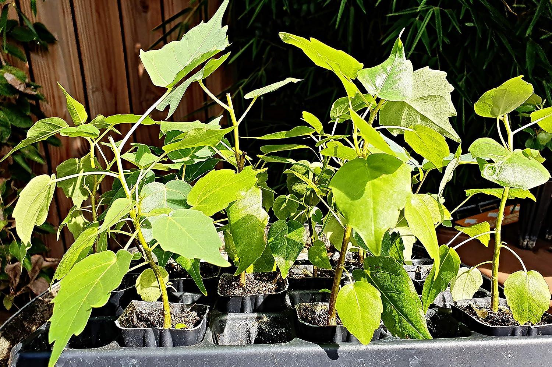 Buddha Baum 10//15cm ca Bonsai geeignet Bodhi Baum ficus religiosa Pappelfeige Pflanze