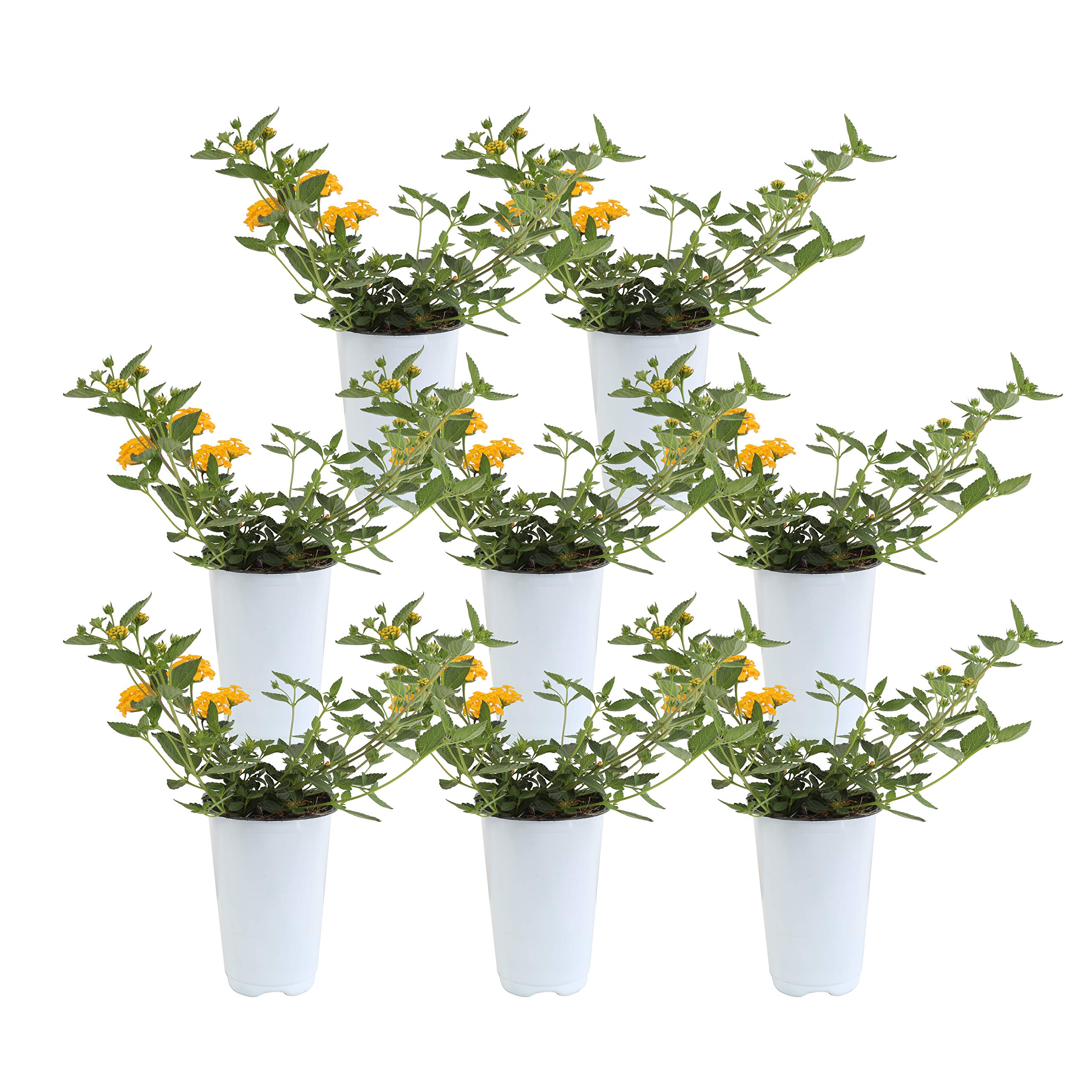Costa Farms Live Premium Lantana Plant 1.00 qt Grower Pot, 8-Pack Yellow
