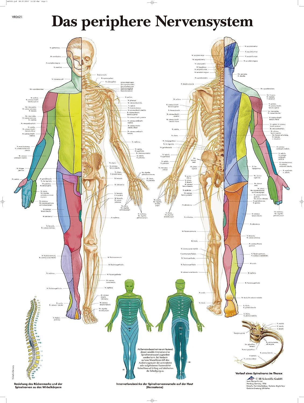3B Scientific Lehrtafel laminiert - Das periphere Nervensystem ...