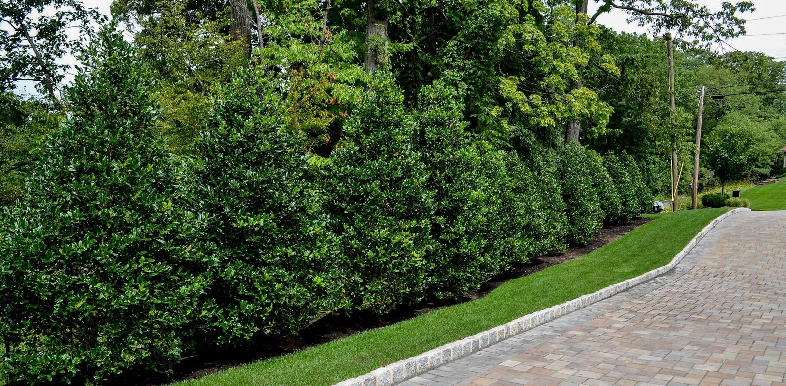 Nellie R. Stevens Holly - 20 Live Plants - Evergreen Privacy Trees by Florida Foliage (Image #6)
