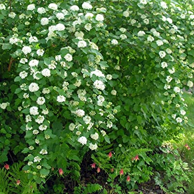 ATLANTA NINEBARK Physocarpus Opulifolius - 100+ SEEDS : Garden & Outdoor