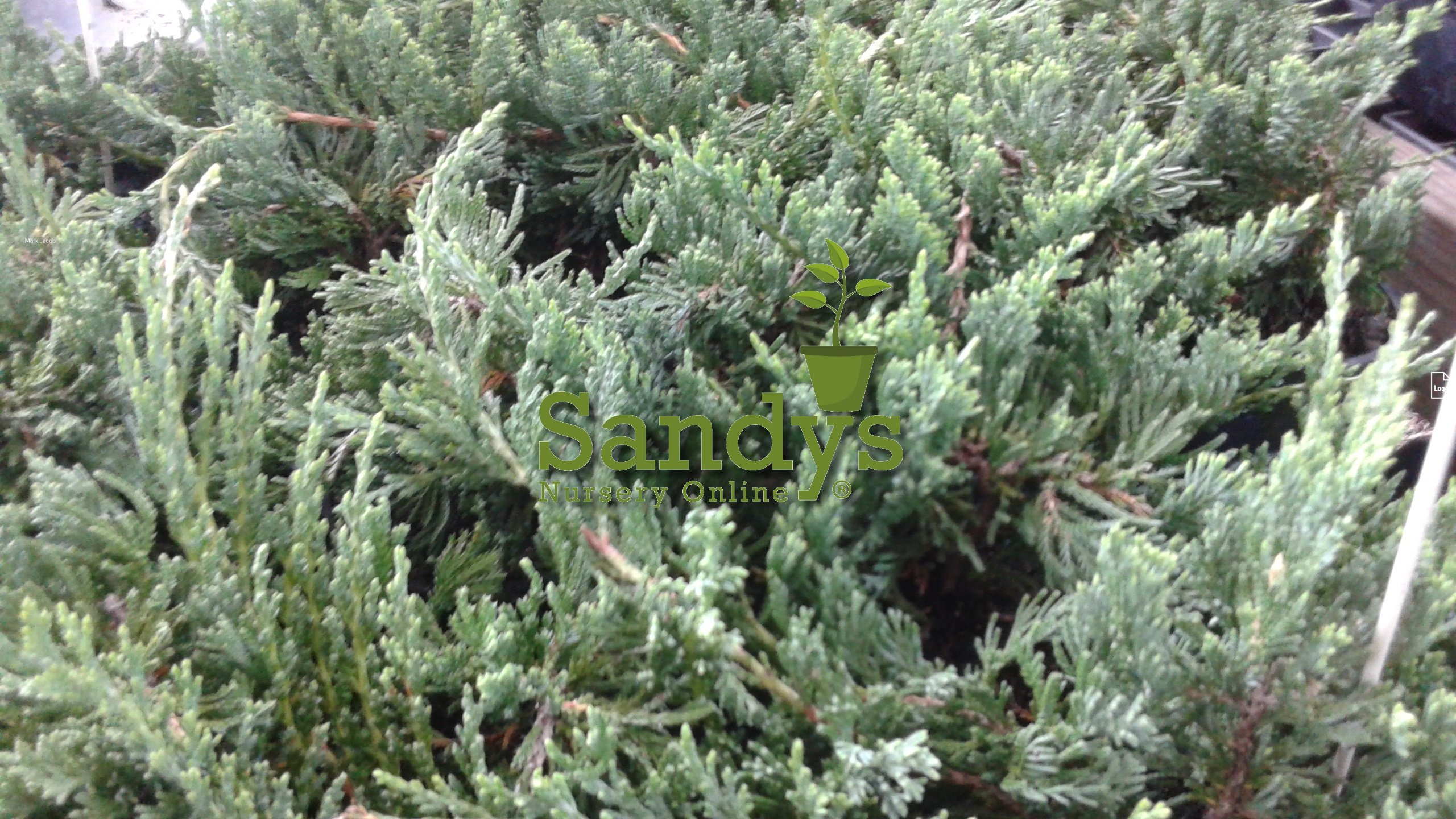 Juniper Blue Rug Ground Cover 2 Tray of 60 plants each. A total of 120 plant/plugs. Ideal for mass plantings and lining out stock by Sandys Nursery Online