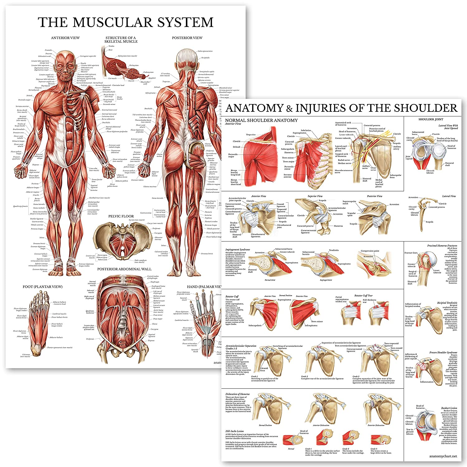 Muscular System & Shoulder Anatomy Poster Set - Laminated Anatomical Muscle and Shoulder Charts - 2 Poster Set Palace Learning
