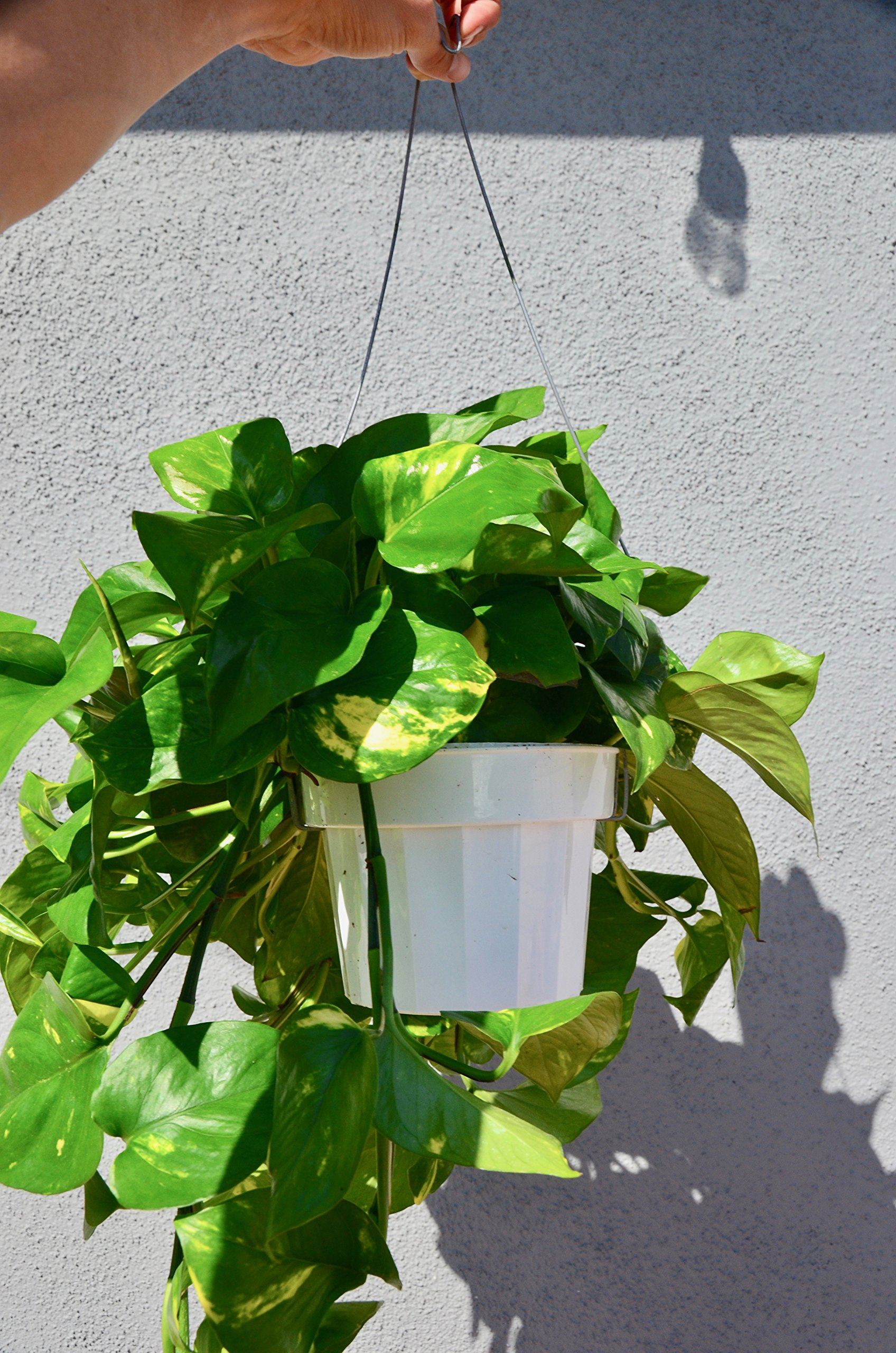 Golden Pothos Hanging - In 8'' Pot/Live Plant/FREE Care Guide/House Plant/EASY CARE by House Plant Shop