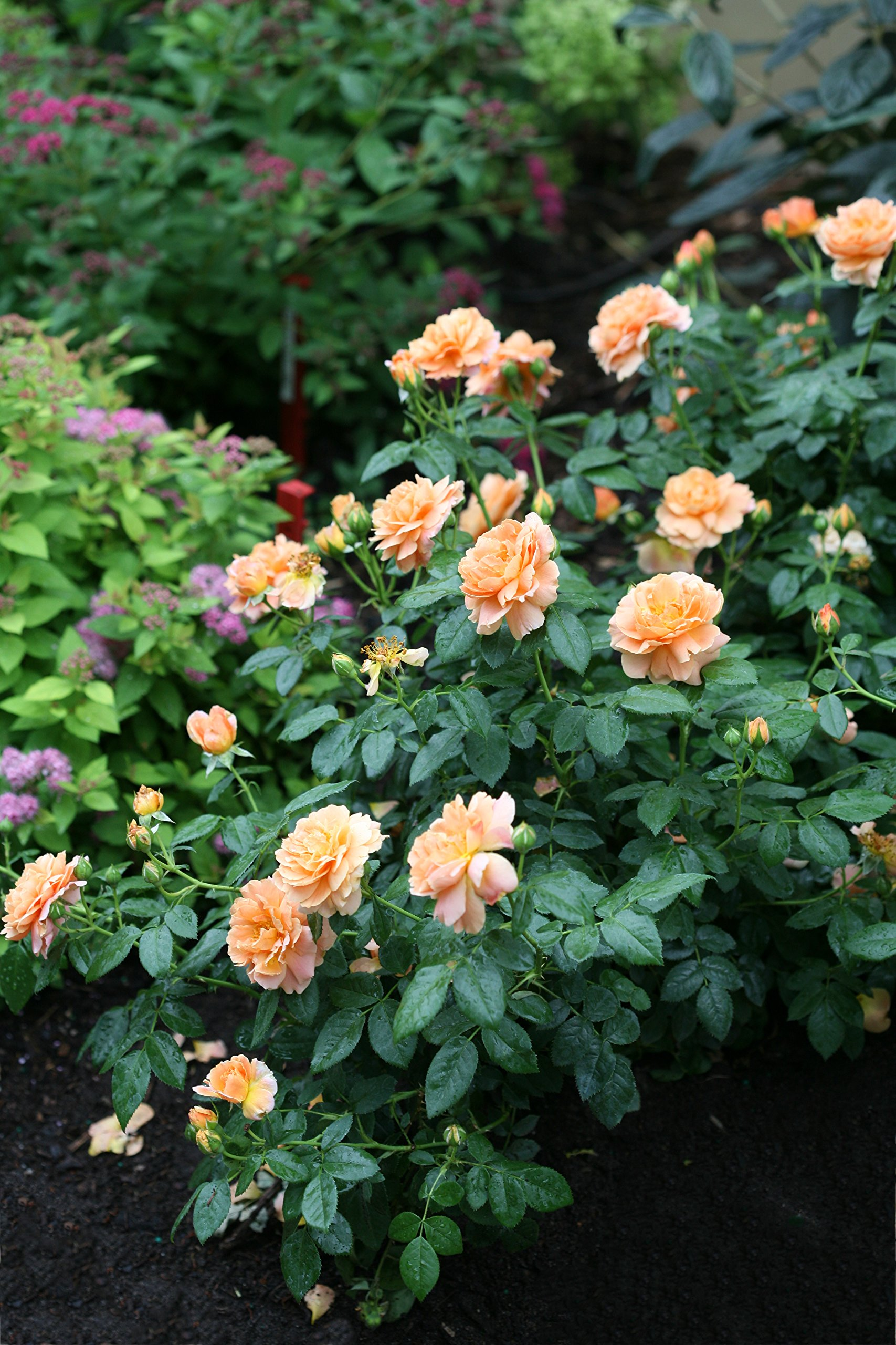 At Last Rose (Rosa) Live Shrub, Orange Flowers, 4.5 in. Quart by Proven Winners (Image #8)