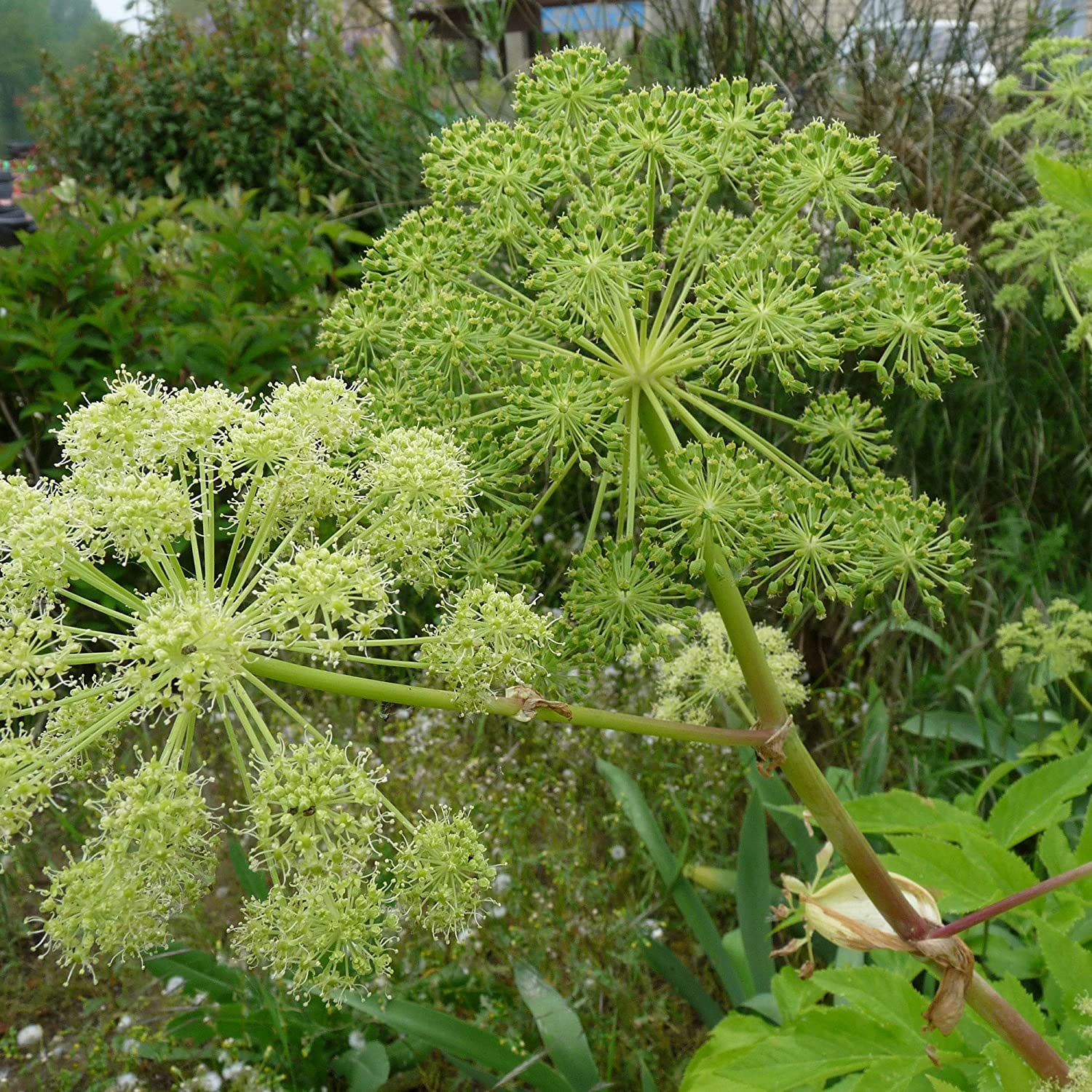 Angelica Seeds (Angelica archangelica) 30+ Rare Aromatic Medicinal Herb Seeds in FROZEN SEED CAPSULES for The Gardener & Rare Seeds Collector - Plant Seeds Now or Save Seeds for Years