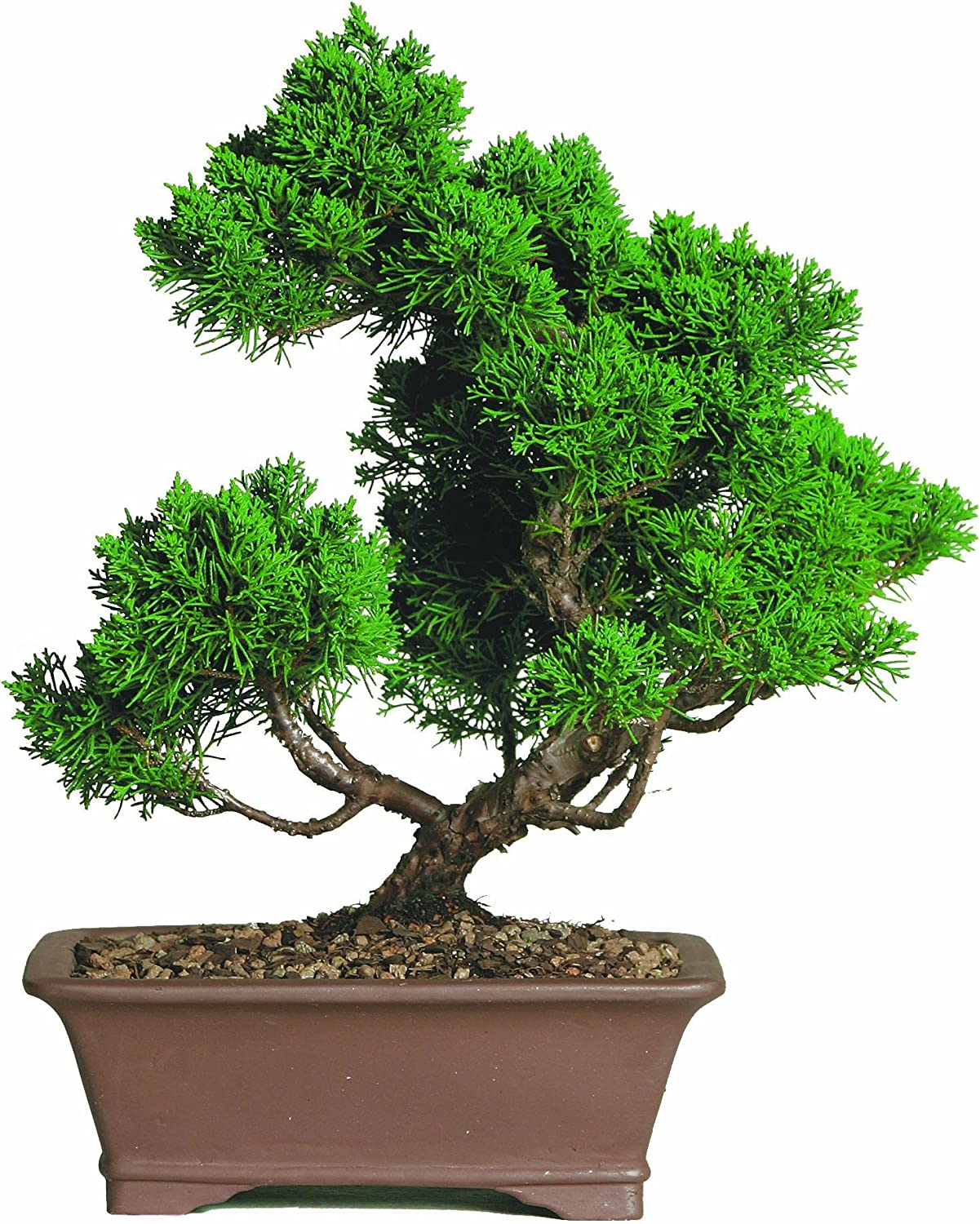 Amazon Com Brussel S Shimpaku Juniper Bonsai Garden Outdoor
