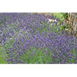Premier Seeds Direct BX-IWEG-ERP1 Lavender Common English Seeds (Pack of 1000)