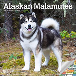 Alaskan Malamutes Calendar 2021 Bundle - Deluxe 2021 Alaskan Malamutes Wall Calendar with Over 100 Calendar Stickers (Dog Lovers Gifts, Office Supplies)