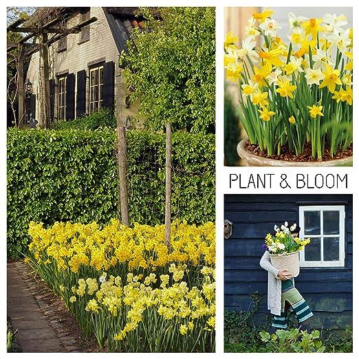 Fiori Primaverili Gialli.Plant Bloom Bulbi Da Fiore Narcisi Giunchiglie Dall Olanda