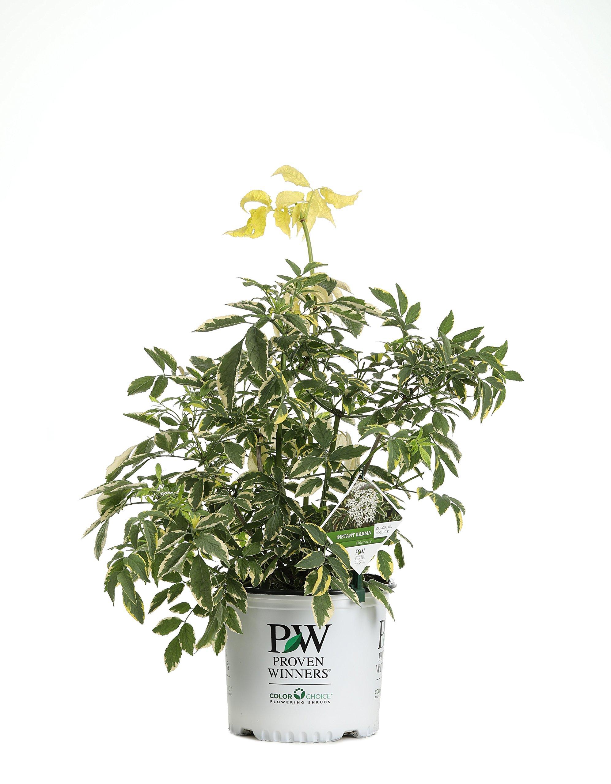 Instant Karma Elderberry (Sambucus) Live Shrub, White Flowers and Variegated Foliage, 3 Gallon by Proven Winners