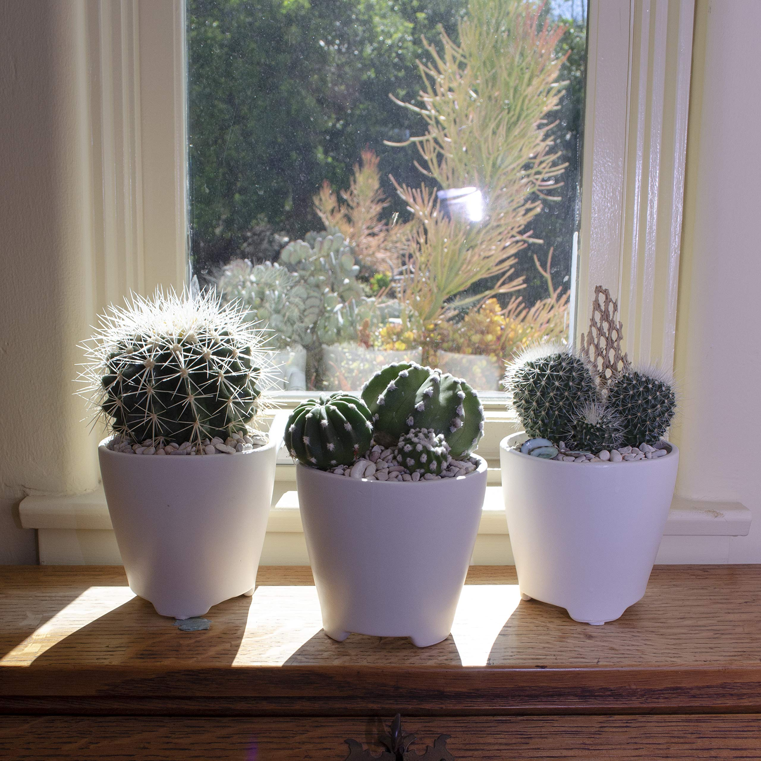 Altman Plants Assorted Live Cactus Collection large for planters or gifts, 3.5'', 6 Pack by Altman Plants (Image #5)