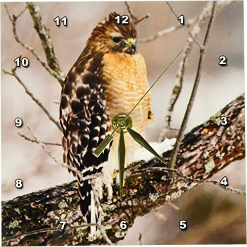 3dRose dc_90411_1 Red-Shouldered Hawk, Bird, Kentucky – US18 AJE0490 – Adam Jones – Desk Clock, 6 by 6-Inch