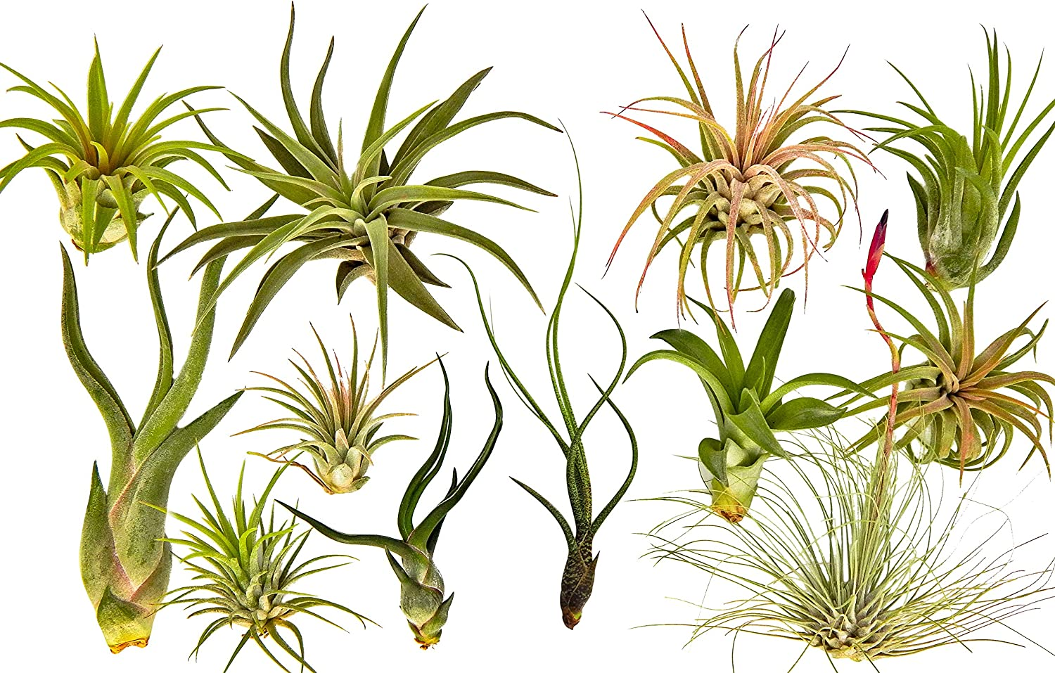 12 pc Air Plant Tillandsia Starter Set by Bliss Gardens - 12 Live House Plants - Great for Terrariums, Planters, Home Decor