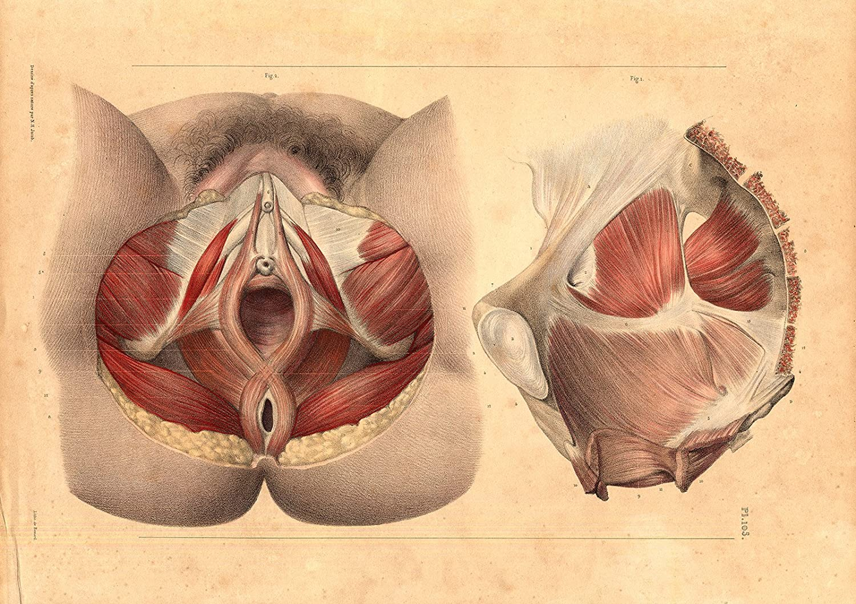 Antik Medical Kunstdruck-Anatomie Muskel, Becken, Vagina-Genitals-P ...