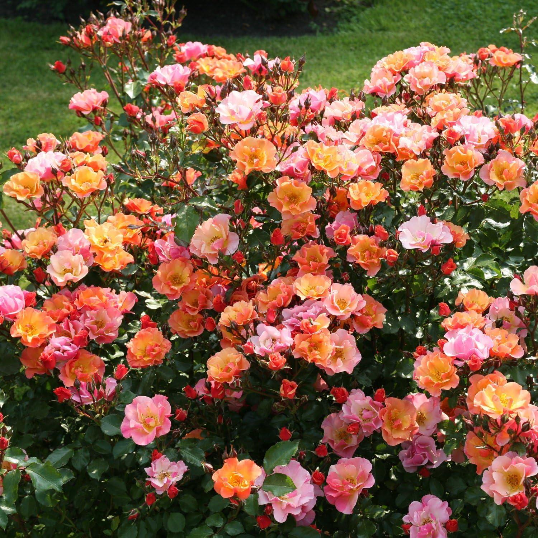 Rose Palmengarten Frankfurt Bodendeckerrose tiefrosanen Bl/üten Kleinstrauchrose Pflanze Winterhart Halbschattig von Garten Schl/üter Pflanzen in Top Qualit/ät