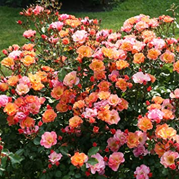 Rose Jazz Bodendeckerrose Mehrfarbige Blüten In Orange Apricot