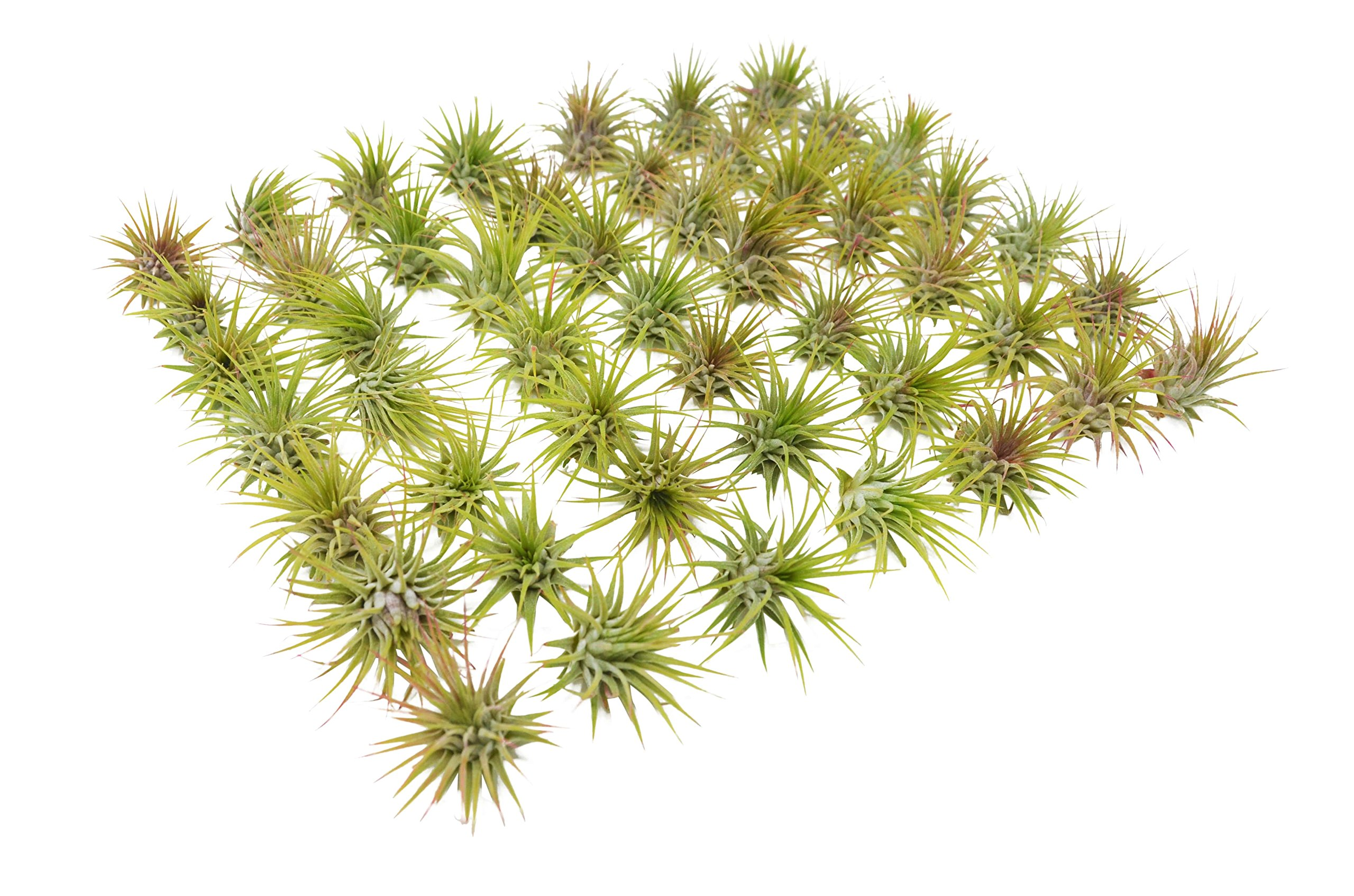 Bulk Ionantha Air Plant Pack / 2-3 Inches Large/Wholesale (25 and 50 Packs) (50)