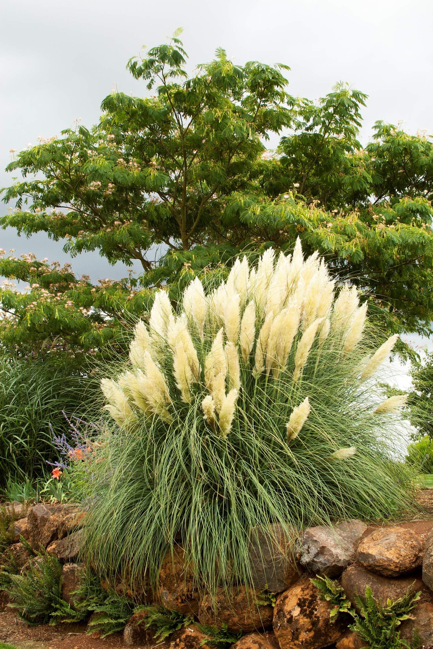 Pampas Grass Qty 15 Live Plants Cortaderia Selloana Showy Blooms by Florida Foliage (Image #7)