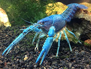 Aquatic Arts 1 Live Electric Blue Crayfish | Live Freshwater Aquarium  Lobster/Crawfish/Crawdad/Real