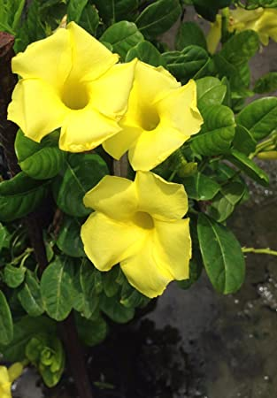 Amazon mandevilla yellow vine live plant 1 garden outdoor mandevilla yellow vine live plant 1 mightylinksfo