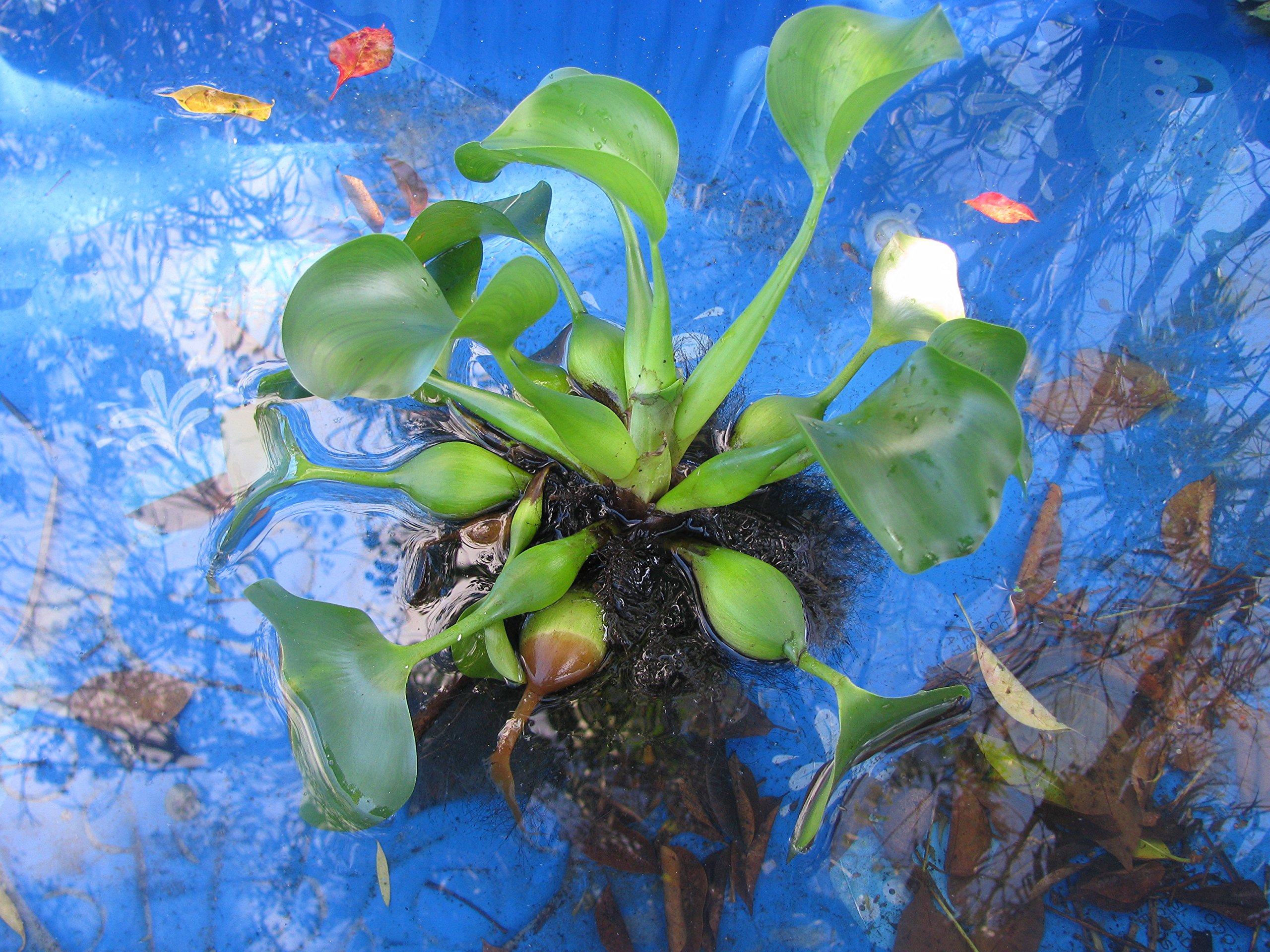 Live-water-hyacinth 1 Plants 5''-8''-pond-plants-healthy-biofilters-w-freewaterlettuce .