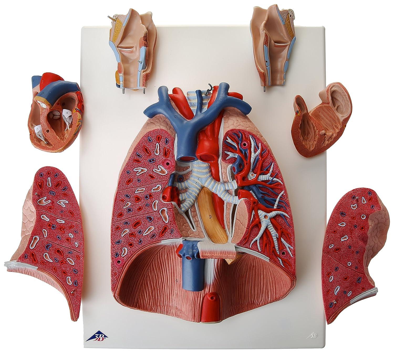 3B Scientific Lung Model with Larynx 7-Part G15