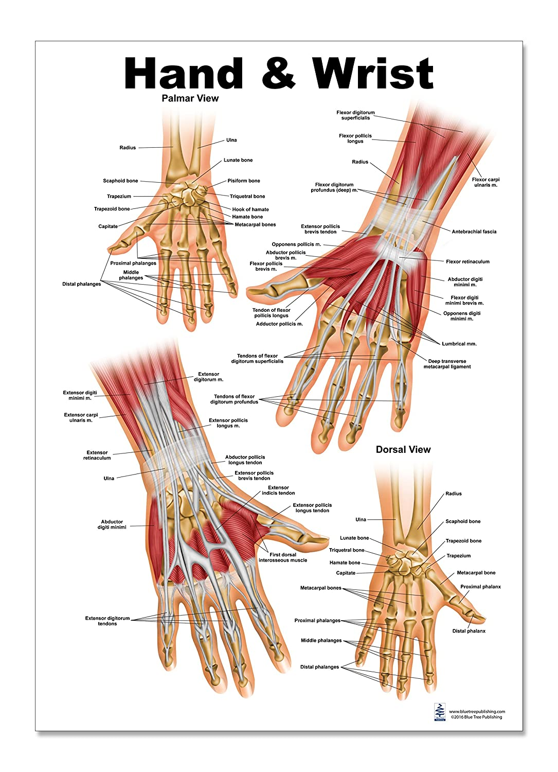 Hand And Wrist Anatomical Poster Size 12wx17t Amazon