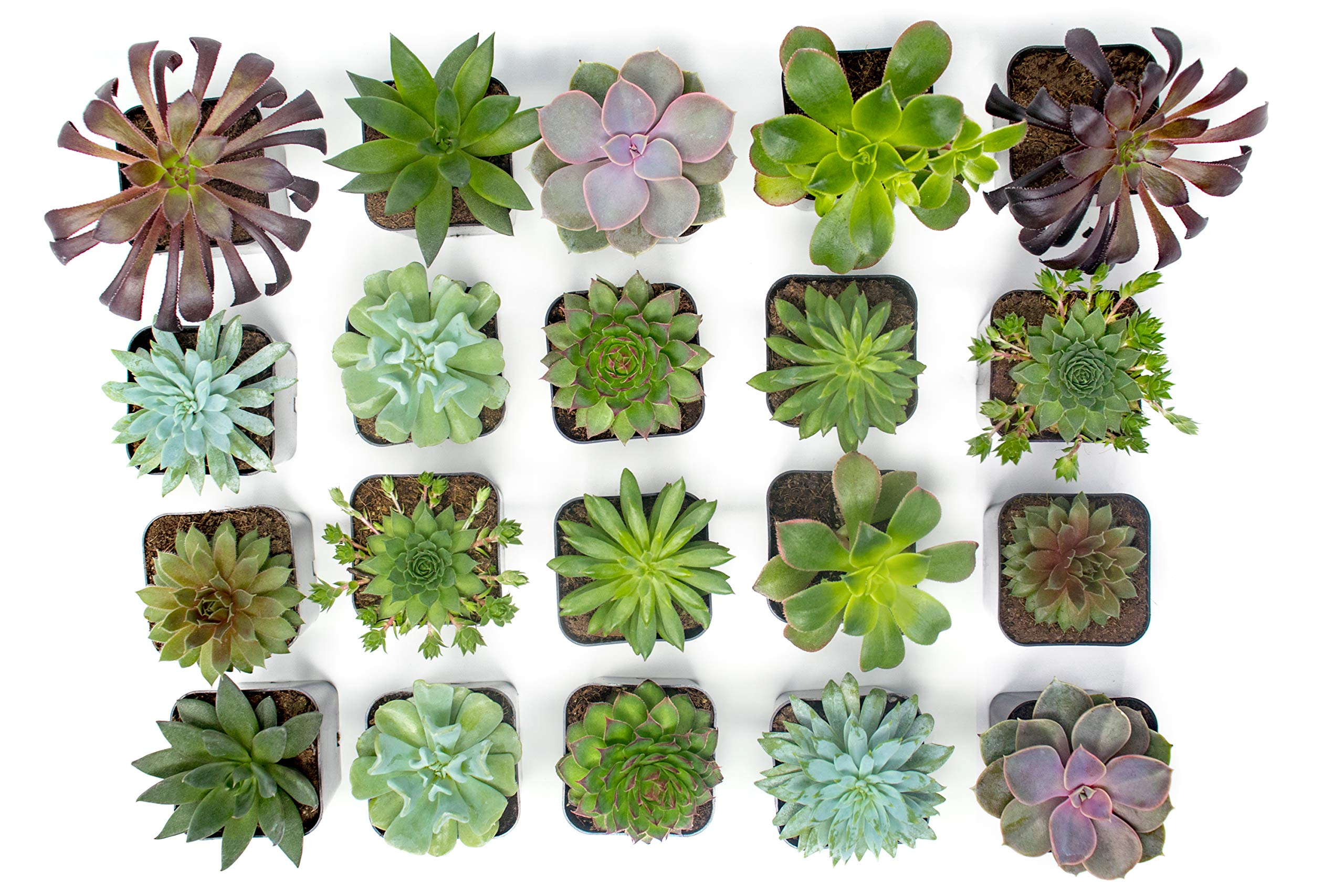Succulent Plants (20 Pack) Fully Rooted in Planter Pots with Soil | Real Live Potted Succulents / Unique Indoor Cactus Decor by Plants for Pets 6 HAND SELECTED: Every pack of succulents we send is hand-picked. You will receive a unique collection of species that are fully rooted and similar to the product photos. Note that we rotate our nursery stock often, so the exact species we send changes every week. THE EASIEST HOUSE PLANTS: More appealing than artificial plastic or fake faux plants, and care is a cinch. If you think you can't keep houseplants alive, you're wrong; our succulents don't require fertilizer and can be planted in a decorative pot of your choice within seconds. DIY HOME DECOR: The possibilities are only limited by your imagination; display them in a plant holder, a wall mount, a geometric glass vase, or even in a live wreath. Because of their amazingly low care requirements, they can even make the perfect desk centerpiece for your office.
